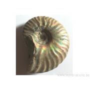 Fossile ammonite brute